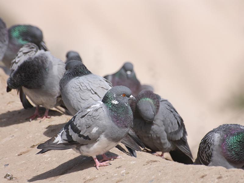 servizio-allontanamento-piccioni-forli