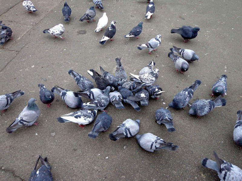 forli-allontamamento-piccioni